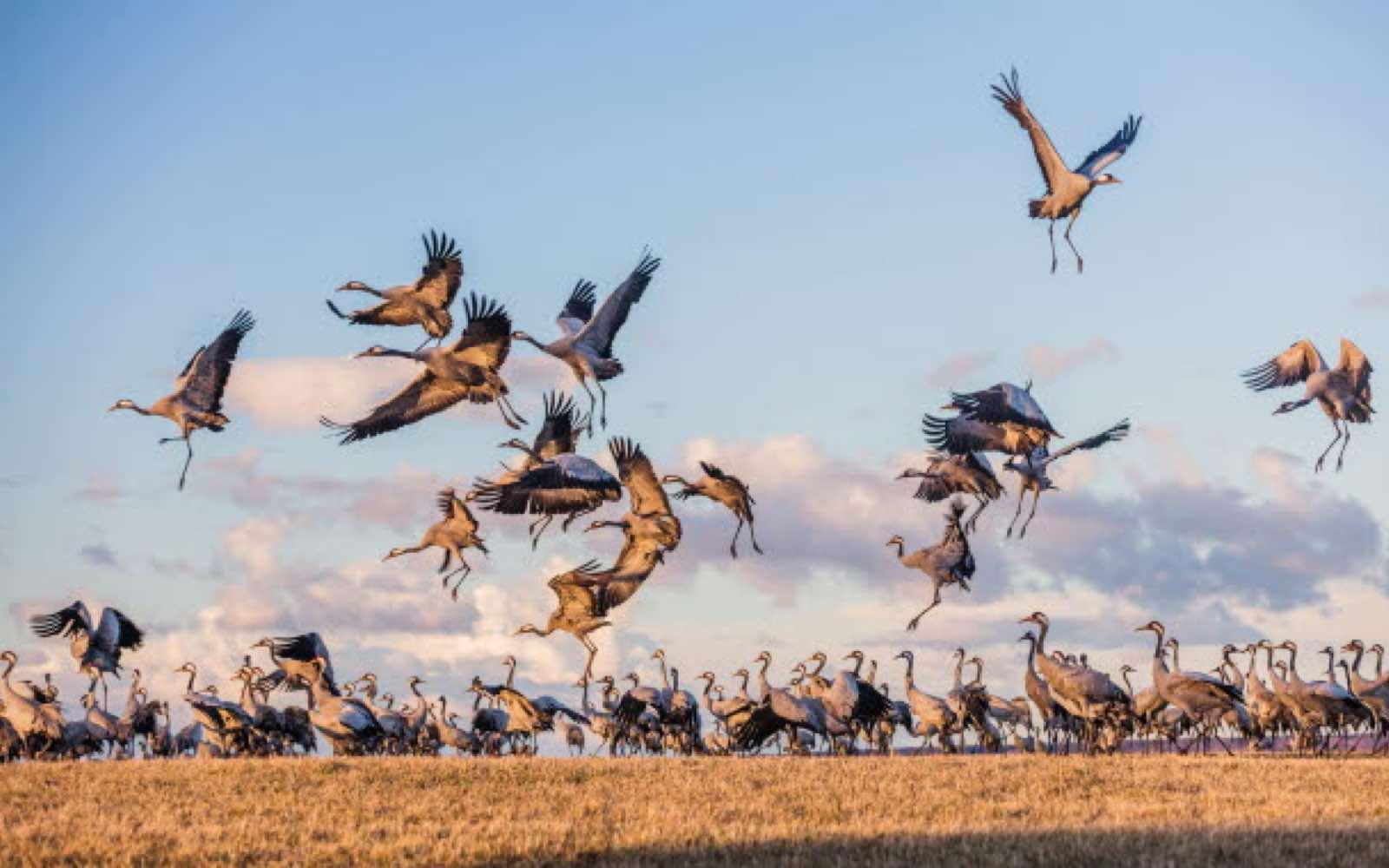 fugleshow og tranedans